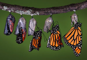 Butterfly Transformation 300x209